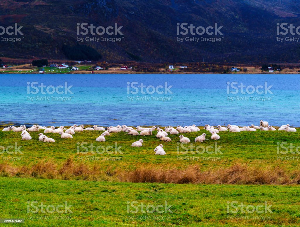 Horizontal vivid Norway sheep flock fjord background backdrop stock photo