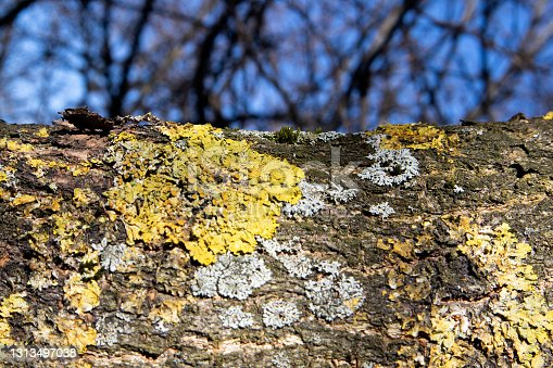 Horizontally oriented trunk of an old dried tree overgrown with moss against blue sky and interlaced branches