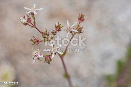 Horkelia hispidula, White Mountain Horkelia, ; uncommon; Ancient Bristlecone Pine Forest; Inyo National Forest, White Mountains, California. Rosaceae.