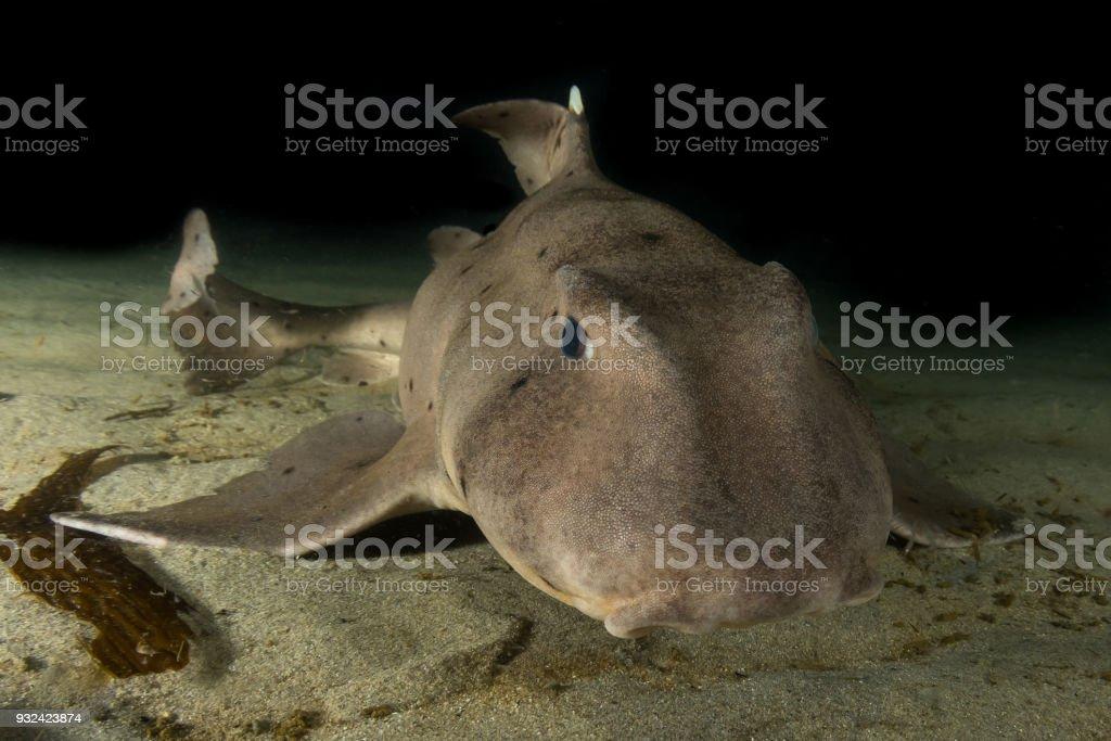 Cuerno tiburón cerca. foto de stock libre de derechos