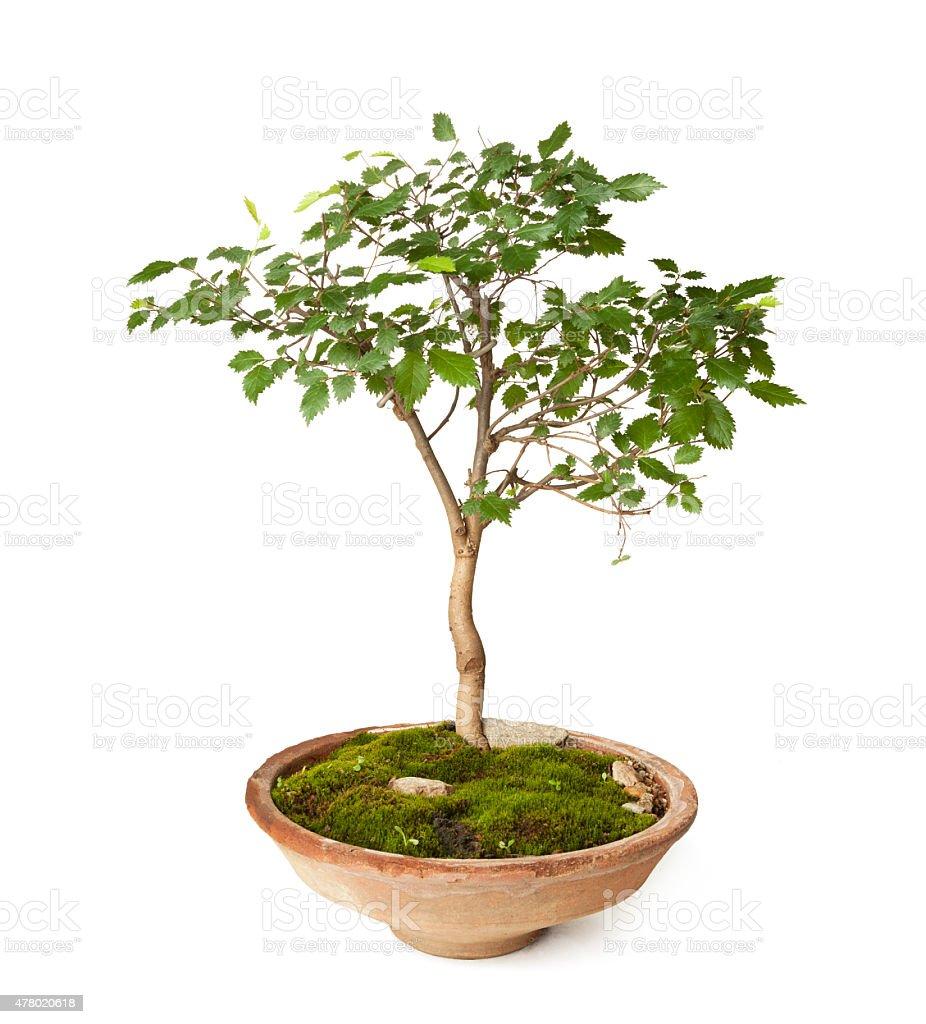 Hornbeam bonsai stock photo