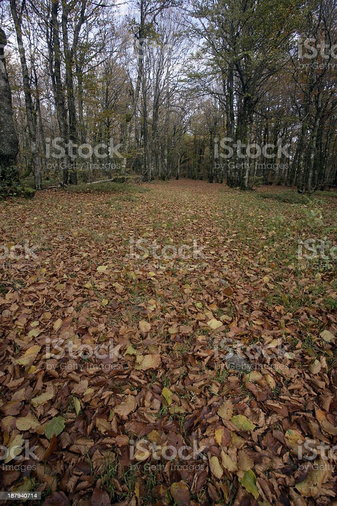 Hornbeam, Carpinus betulus royalty-free stock photo