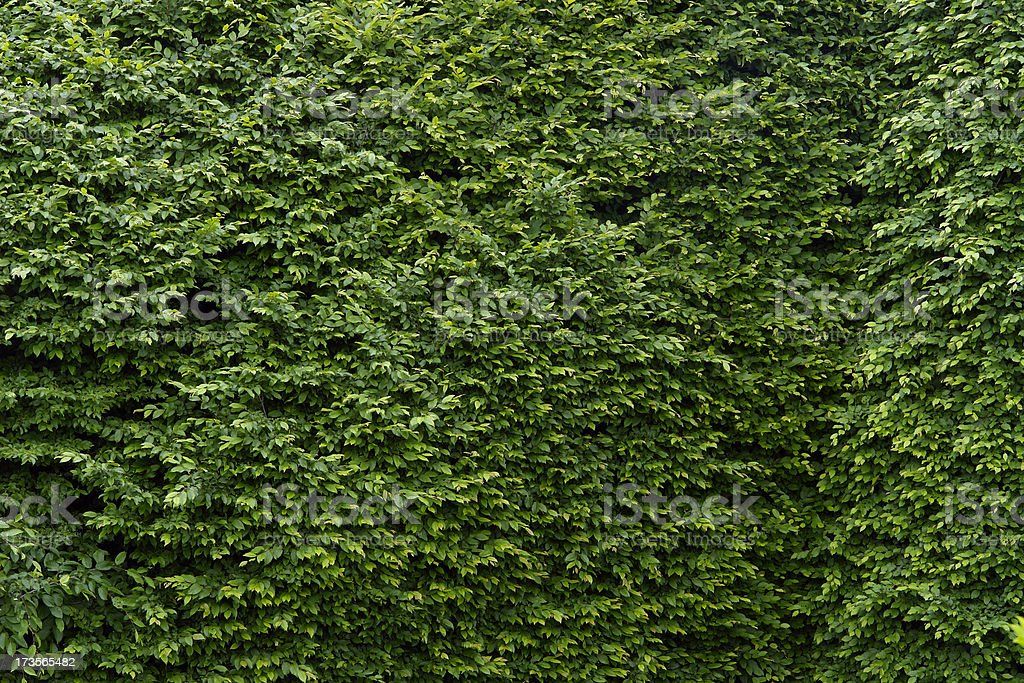 Large old hornbeam hedge - green leaves fill all the photo.