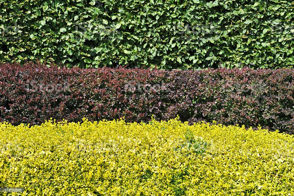 Hornbeam,berberis and golden privet hedges.