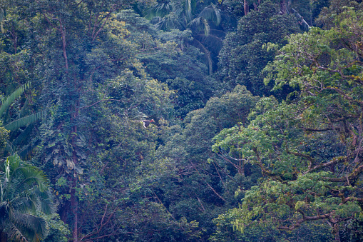 Background of adult male Helmeted hornbill, uprisen angle view, side shot, spread wings and flying under the clear sky in the nature of tropical moist rainforest, in wildlife sanctuary of southern Thailand.