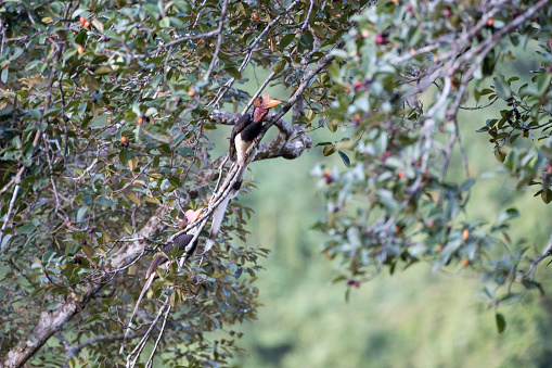Beautiful adult male Helmeted hornbill, uprisen angle view, front shot, sitting on the branch of red fruit tree in the morning, on the nature of tropical moist rainforest in wildlife sanctuary of southern Thailand.male