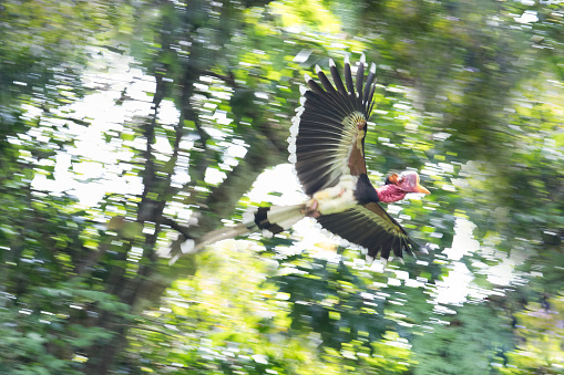 Blurred adult male Helmeted hornbill, uprisen angle view, front shot, spread wings and flying in the nature under the clear sky on tropical moist rainforest, in wildlife sanctuary of southern Thailand.