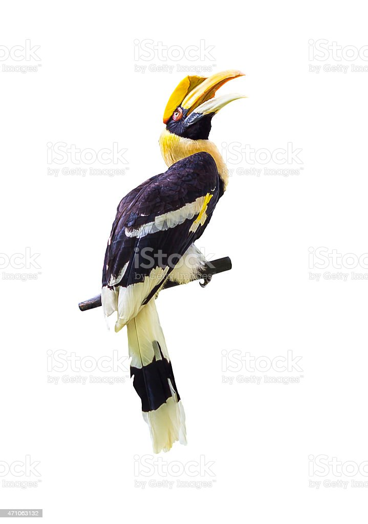Hornbill bird on white stock photo