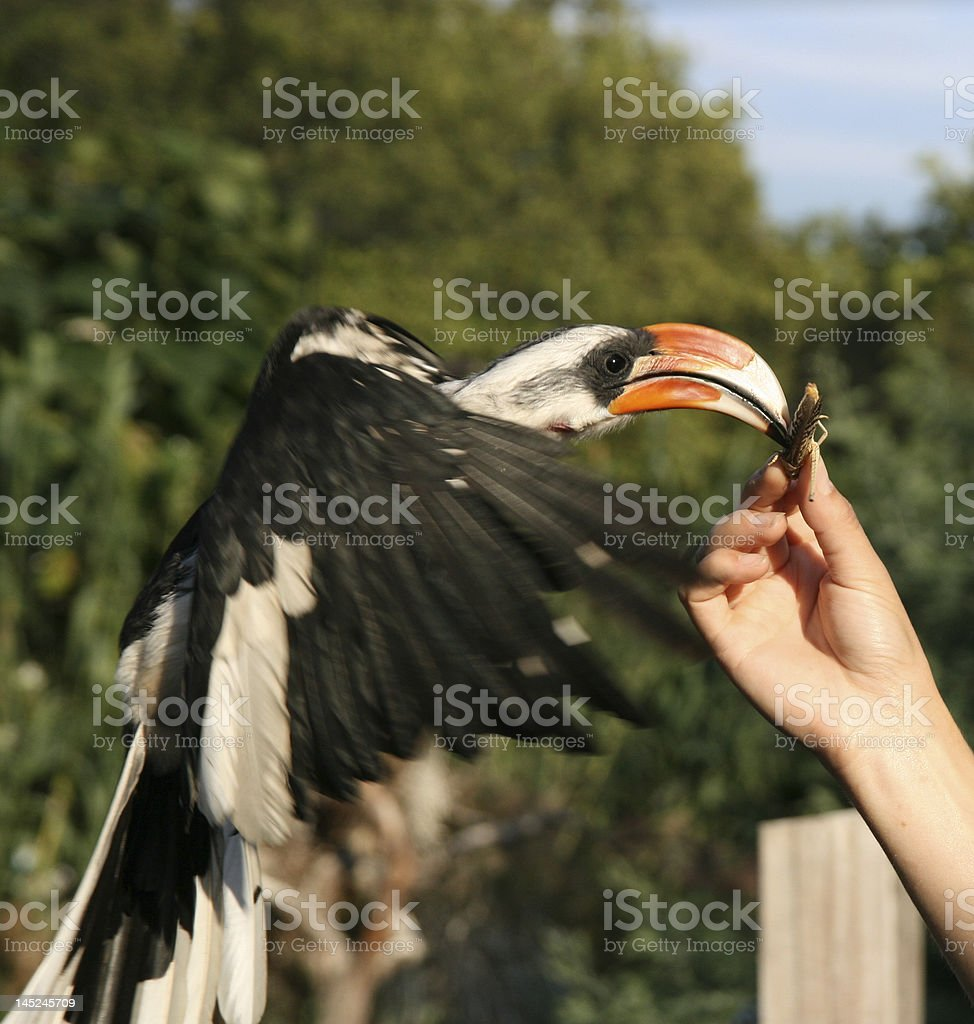Hornbill catches a locust in mid-air. royalty-free stock photo