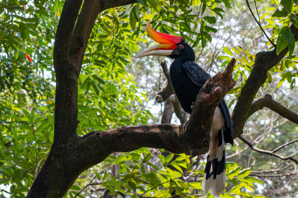 hornbill on a tree in malaysia stock photo