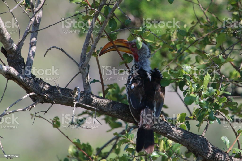Hornbill Perched in a Tree on Safari zbiór zdjęć royalty-free