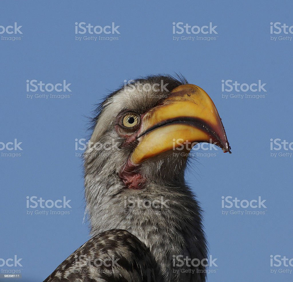 Hornbill portrait royalty-free stock photo
