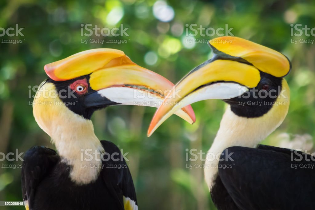 Hornbills courting on the beach stock photo