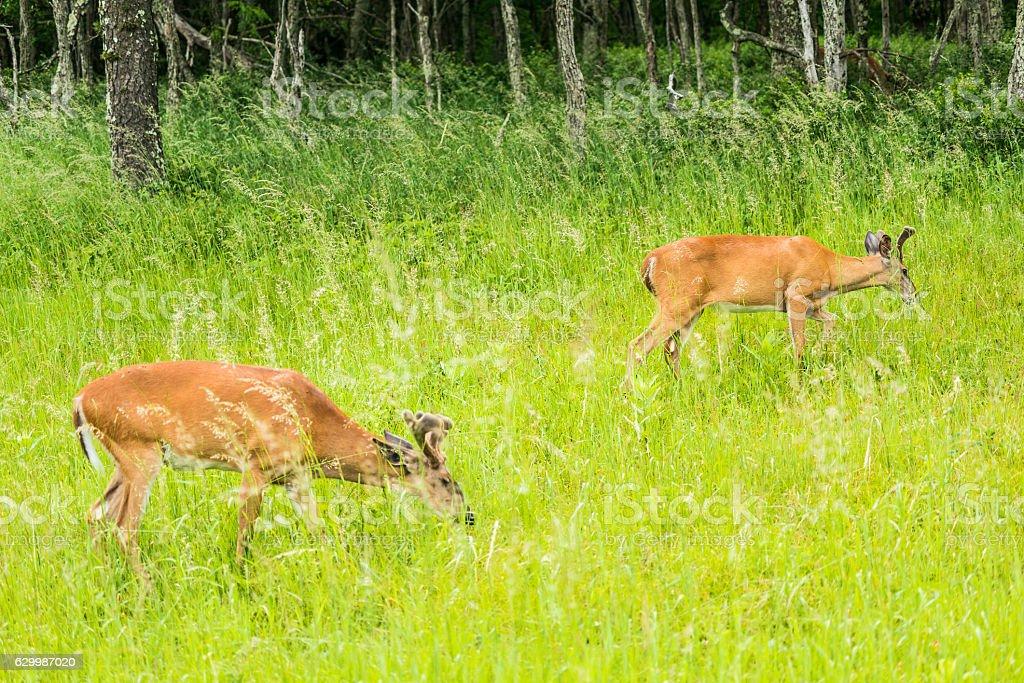 Horned deer grazing in sunny meadow stock photo