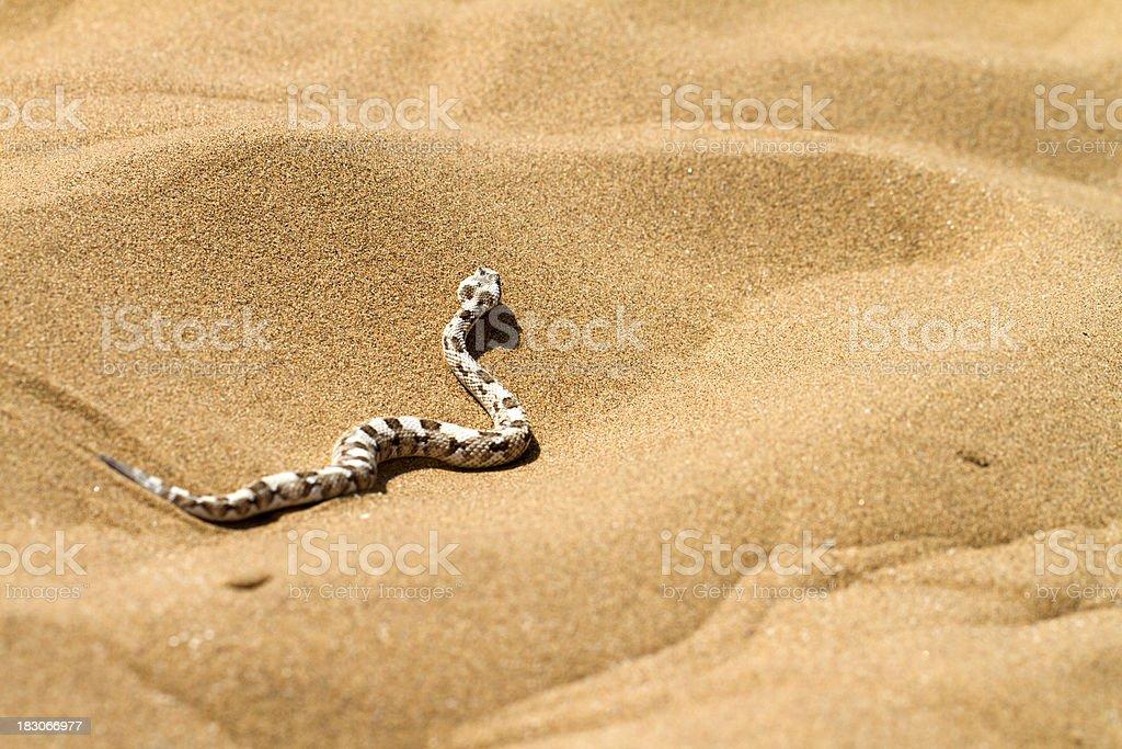 Horned desert viper, Namibia stock photo