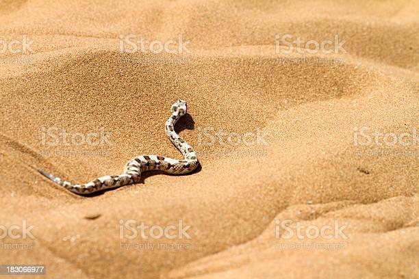 """""""Horned desert viper, Namib desert, Namibia"""""""