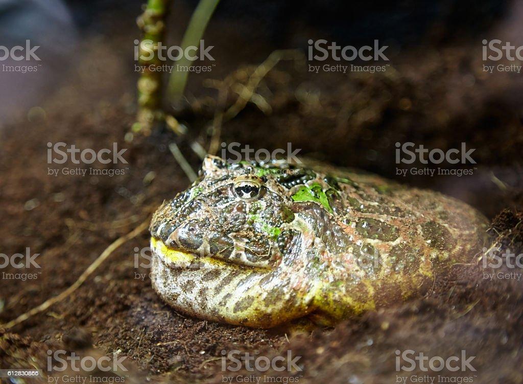 Horned frog stock photo
