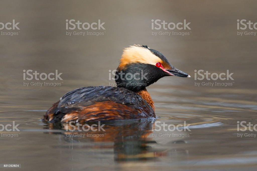 Horned Grebe (Podiceps auritus) in breeding plumage stock photo