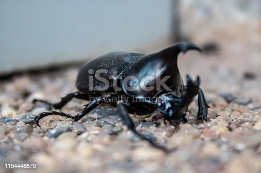 A horned beetle in Bueng Kan city, Bueng Kan Thailand.
