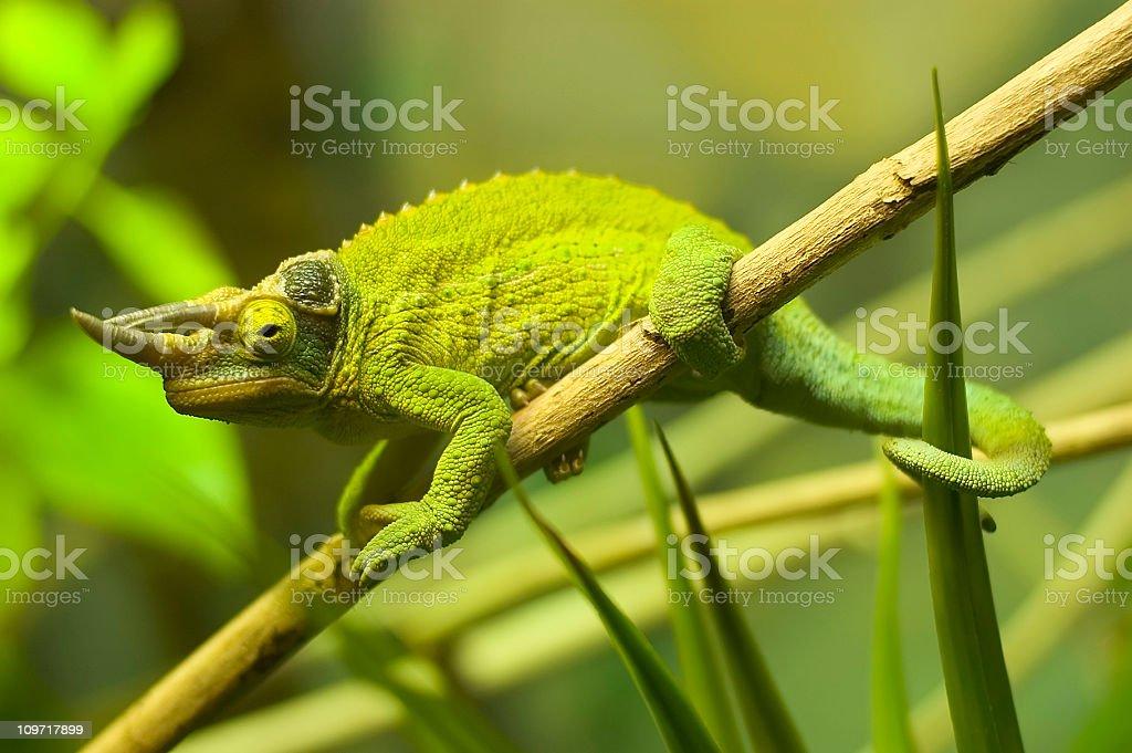 Horned Iguana on Twig royalty-free stock photo