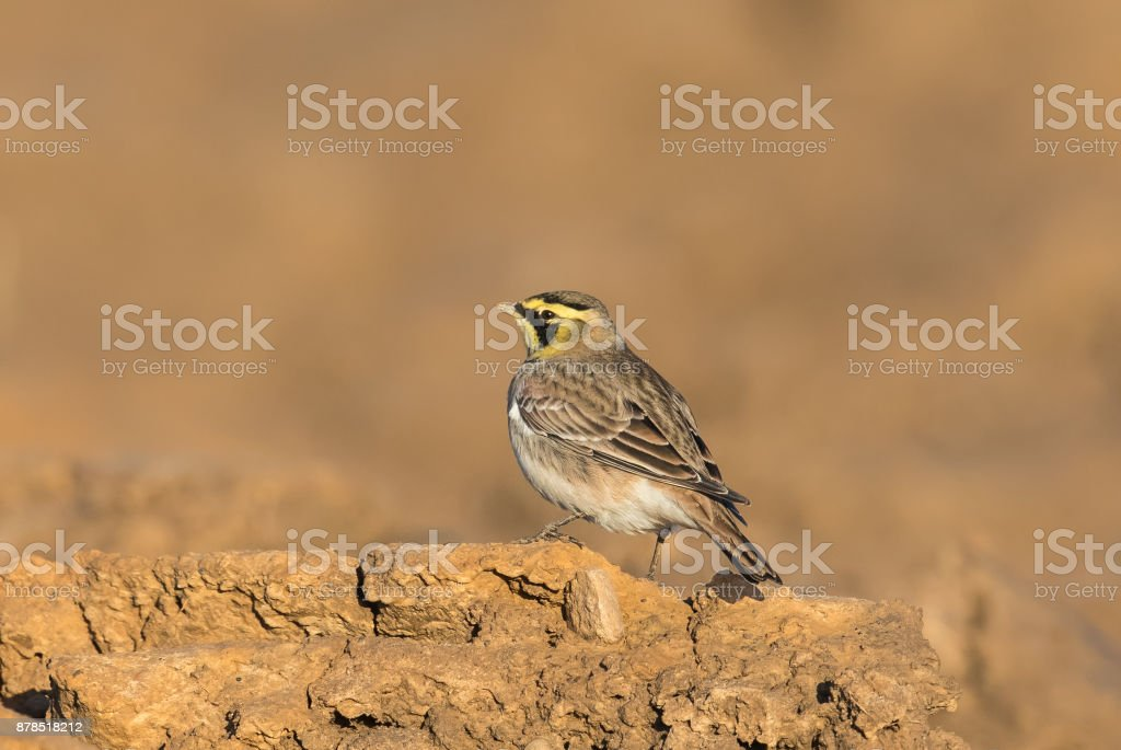 Horned Lark also known as Shorelark stock photo