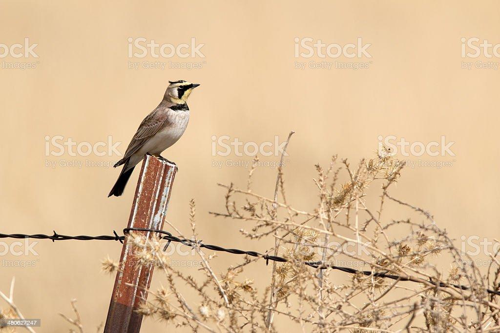 Horned lark and tumbleweed Cimarron National Grasslands Kansas stock photo