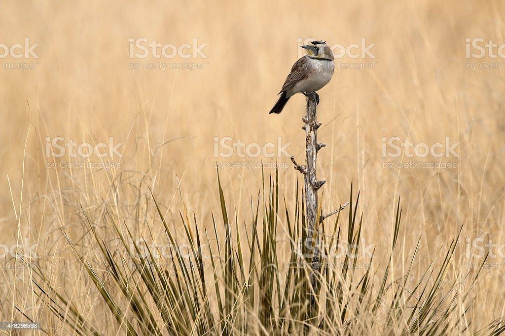 Horned lark in Cimarron National Grasslands Kansas stock photo