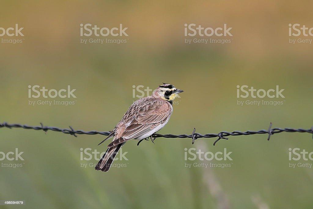 Horned Lark (Eremophila alpestris) on wire fence stock photo