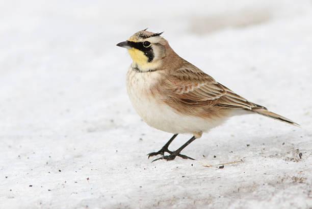 Horned lark stock photo