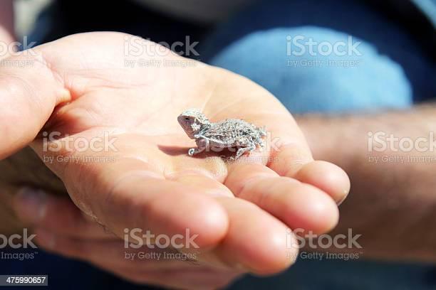 Photo of Horned lizard baby