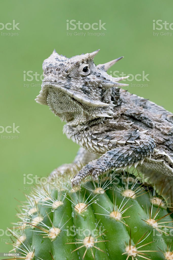 Horned Lizard (Toad) - on Cactus stock photo