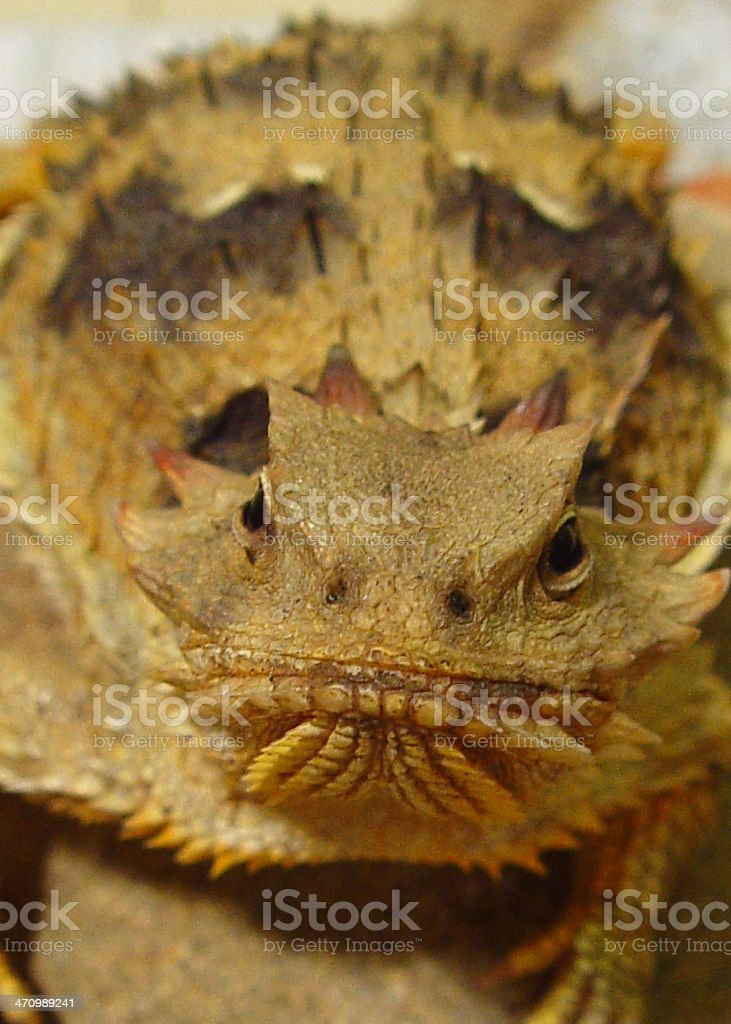 Horned Lizard royalty-free stock photo
