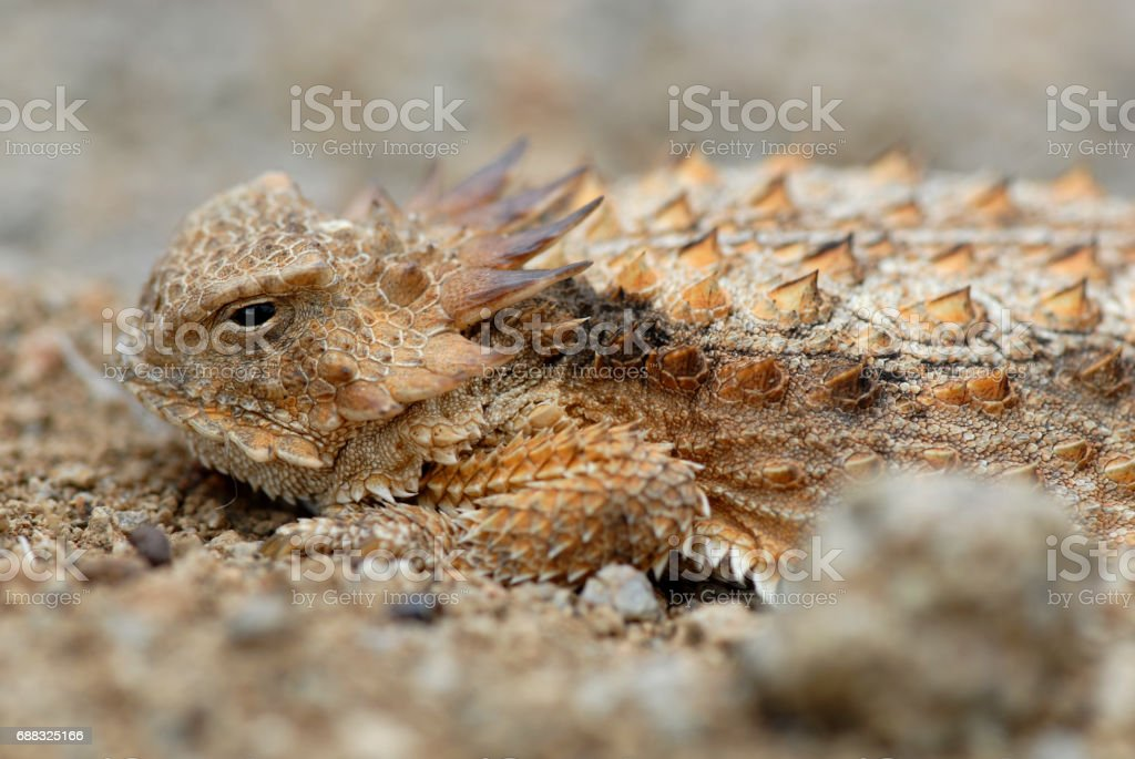 Horned Lizard stock photo
