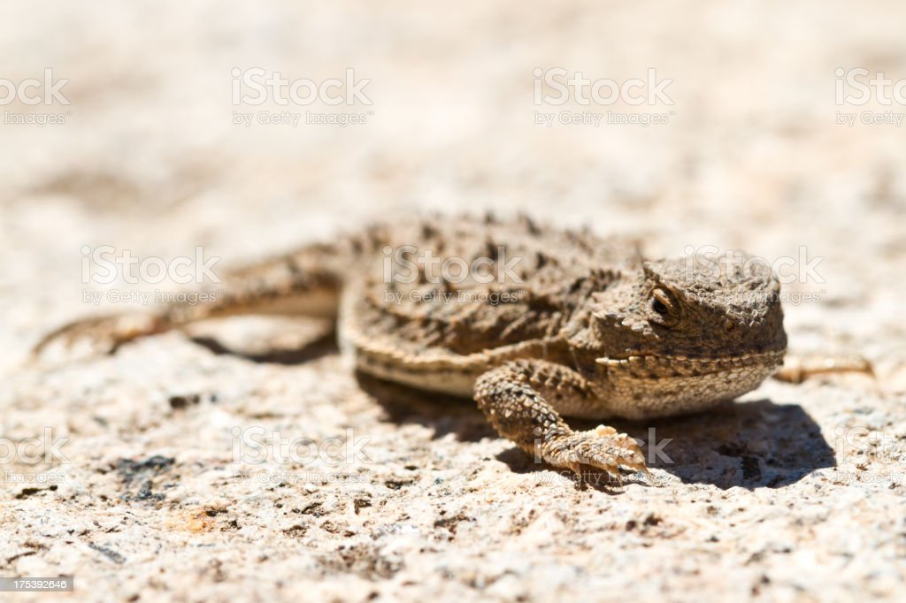 Horned Lizard with Bokeh stock photo