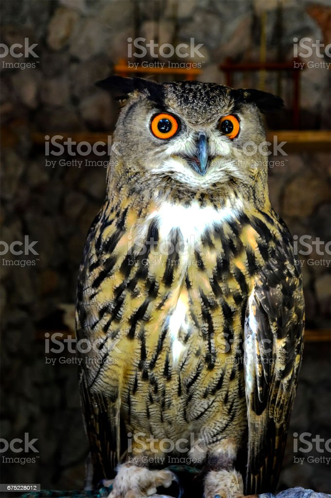 Horned Owl royalty-free stock photo