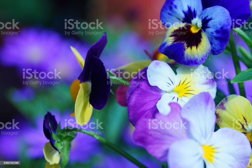 Horned pansies royalty-free stock photo