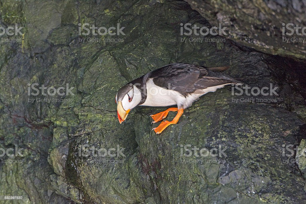 Horned Puffin in a Coastal Cave stock photo