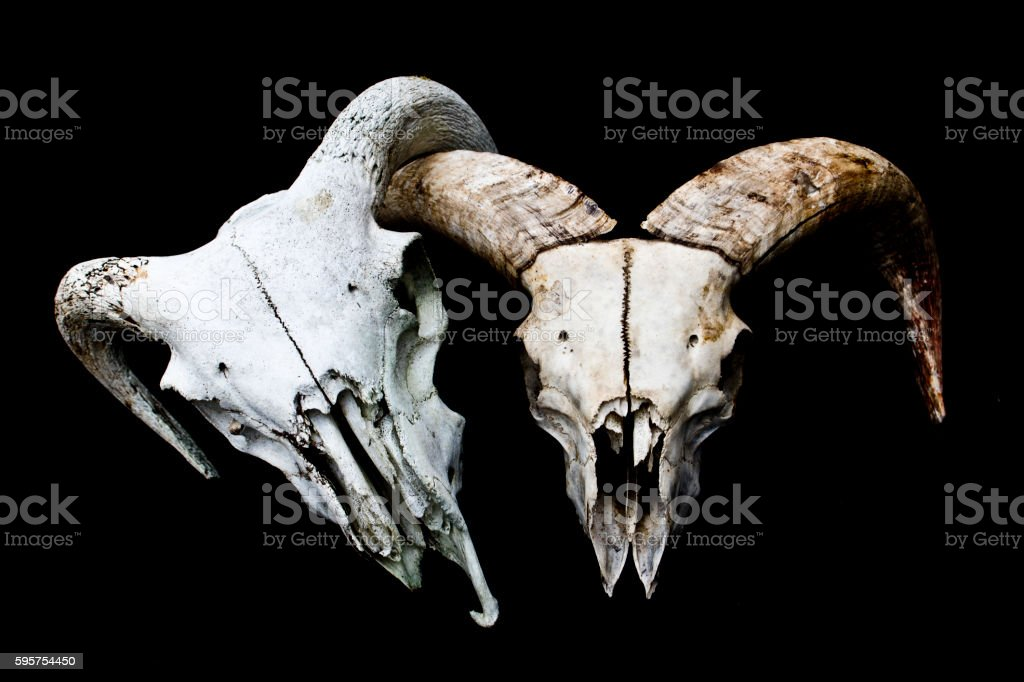 Horned Ram Sheep Skull on Black Black Background stock photo