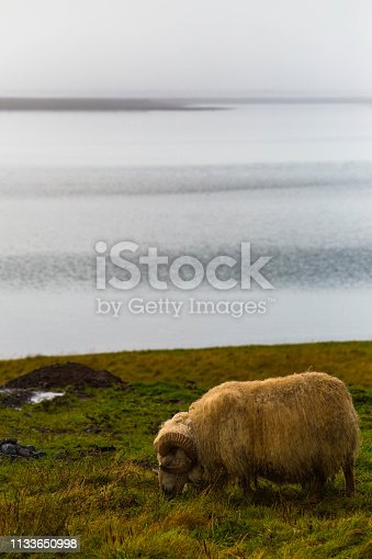 A domestic horned sheep faces left toward the faint sunlight while grazing on grasses on a farm near the coast of Southeast Iceland. The sea extends grey behind him and meets smoothly with land and sky in a stretch of grey tones. This was photographed in autumn within a short drive's distance from Jokulsarlon Glacier Lagoon. Horned sheep are a rare site and quite fascinating to photograph.