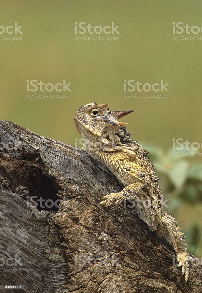 Horned Toad Lizard stock photo