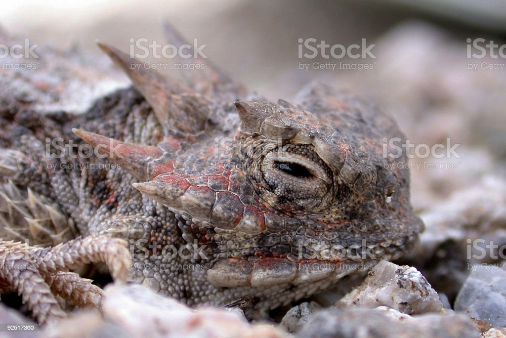 Horned Toad Lizard royalty-free stock photo