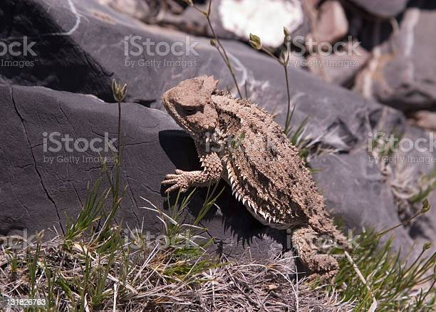 Photo of Horned Toad