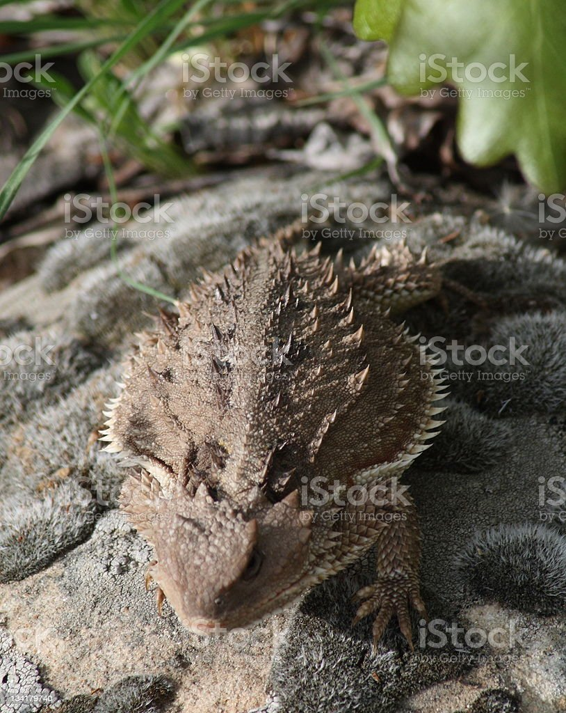 Horned Toad royalty-free stock photo