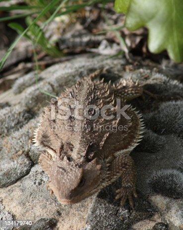 Horny Lizard