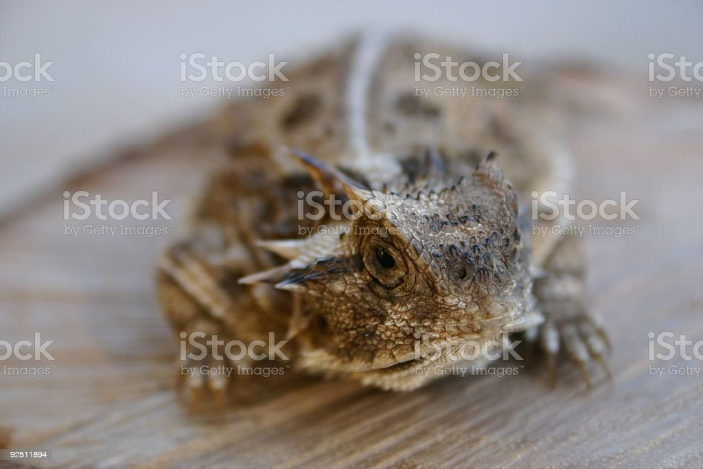 Horned toad poise royalty-free stock photo