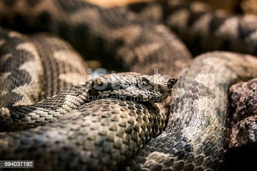 Close-up of a horned viper (also known as long-nosed viper, nose-horned viper, sand viper). It is the most dangerous of the European snakes due to its high venom toxicity, aggressiveness, large size and long fangs. The most distinctive characteristic is a single
