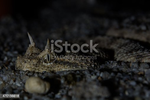 horned viper cerastes cerastes macro hiding in the sand to ambush prey