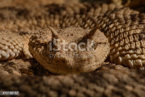horned viper cerastes cerastes macro looking at camera ready to strike
