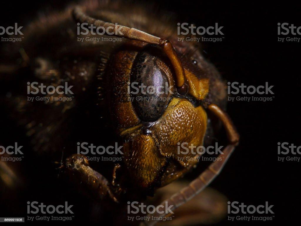 Hornet close-up, dead animal (Vespa crabro) stock photo