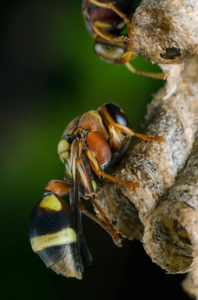 hornet verteidigen thront auf nest im park. - eierstich stock-fotos und bilder